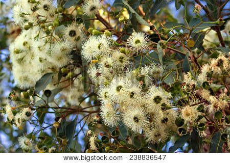 Marri flowers bloodwood tree, known as Red Gum, Port Gregory gum blossoming during summer in Western Australia (Eucalyptus calophylla) stock photo