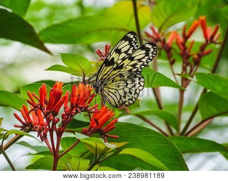 Closeup of a paper kite or white tree nymph butterfly papiliorama stock photo