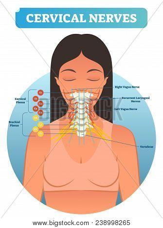 Cervical nerves medical anatomy diagram vector illustration. Human neurological network scheme in neck region. Health care educational poster. stock photo