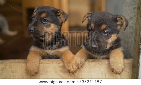 Cheerful shepherd puppy. East European Shepherd Dog German Shepherd East European Shepherd Dog in the aviary. stock photo