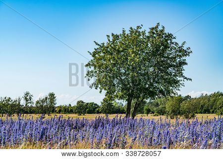 Vipers Bugloss or Blueweed (Echium vulgare) blossom field.  Blue blooming flower, natural environment. stock photo
