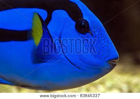 Palette surgeonfish, Pacific Blue Tang,royal blue tang, hippo tang, flagtail surgeonfish, Pacific regal blue tang and blue surgeonfish. Paracanthurus hepatus stock photo