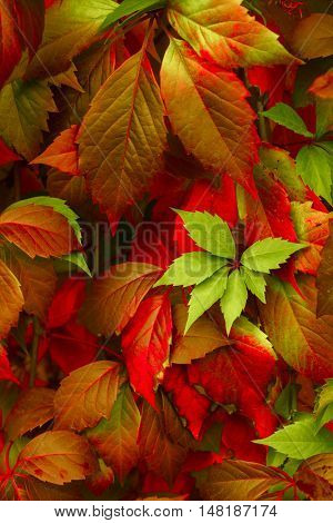 Close up of Autumn Virginia Creeper leaves, Macro of Autumn Wild Grape leaves, Colorful Leaves Of Cr-Lg Fridge Magnet Skin (size 36x65)