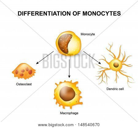 Differentiation of monocytes. Osteoclast Macrophage and Dendric cell stock photo
