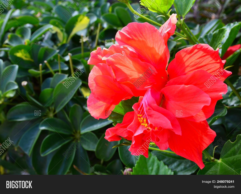 Red Hibiscus Flower China Rosechinese Hibiscushawaiian