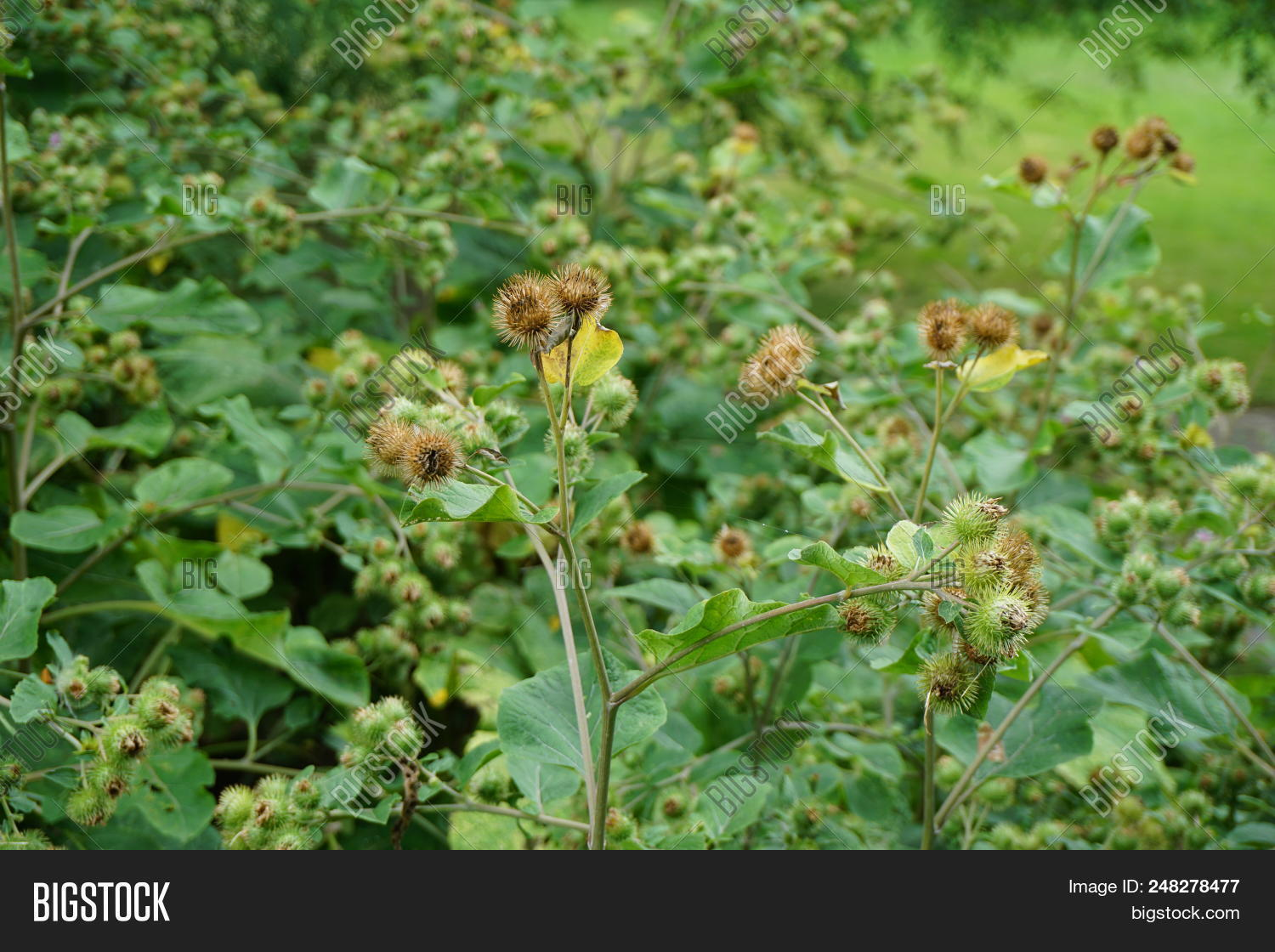 🔥 Burrs Develop On A Thick Stand Of Greater Burdock Plants