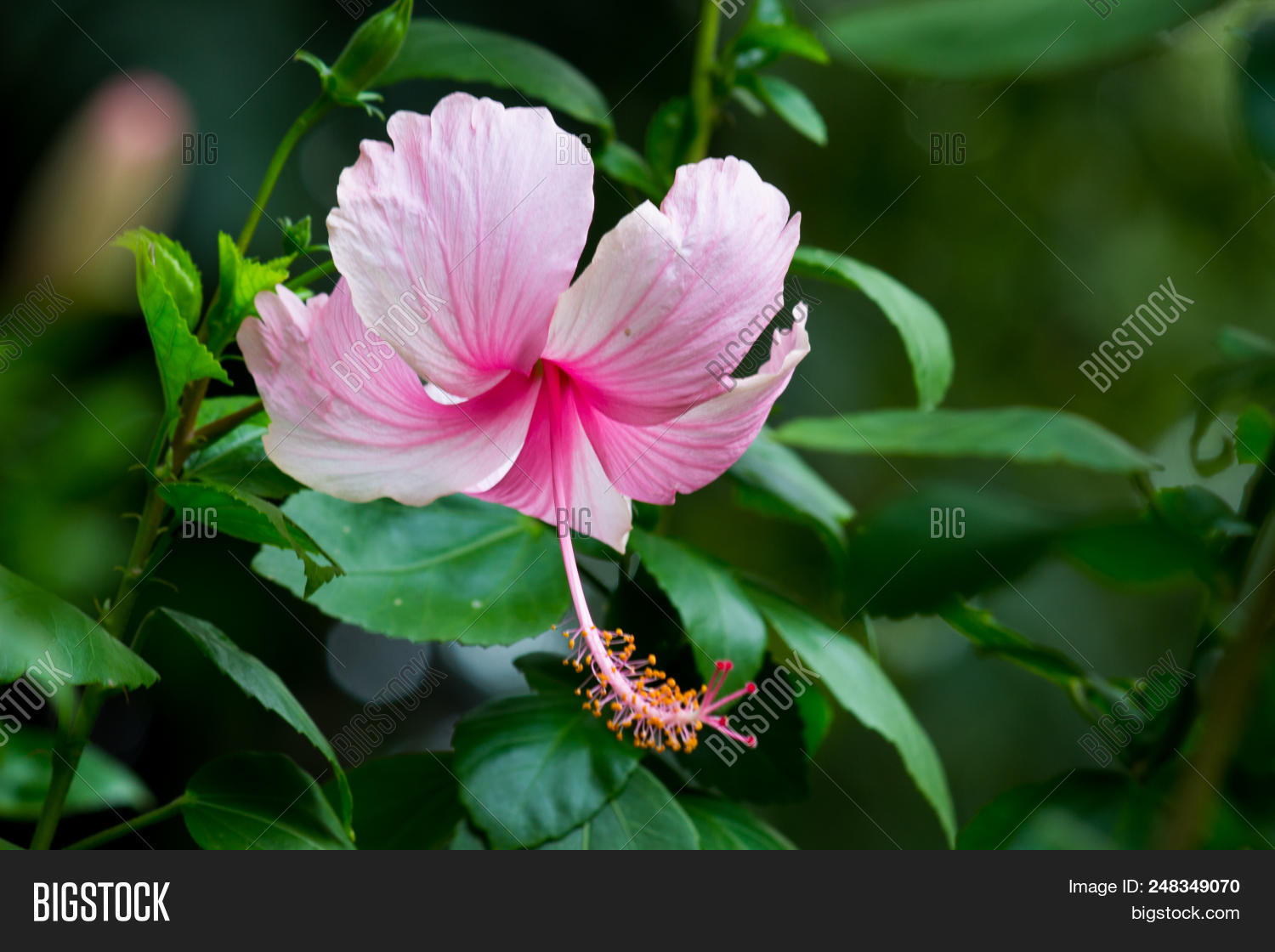 A Pink Hibiscus Flower Handing Downwards From The Tree Photo Stock
