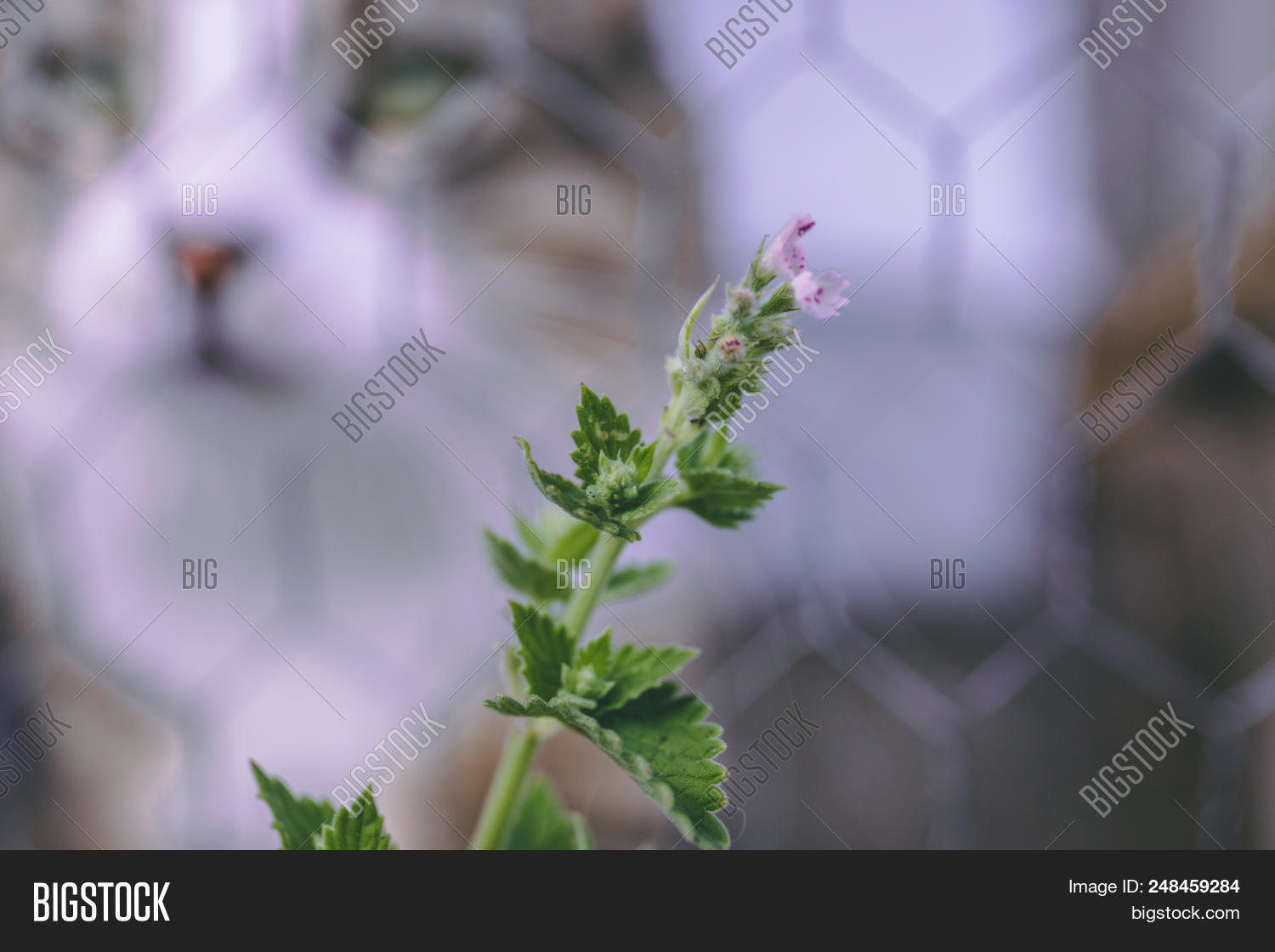 active,animal,beautiful,blooming,blossom,blue,calm,cat,catmint,catnip,close,domestic,feline,flower,fresh,friend,fur,garden,gray,green,grey,head,healthy,herb,herbal,leaf,mint,natural,nature,nepeta,outdoor,perennial,pet,plant,summer,touch,weather,whisker,young