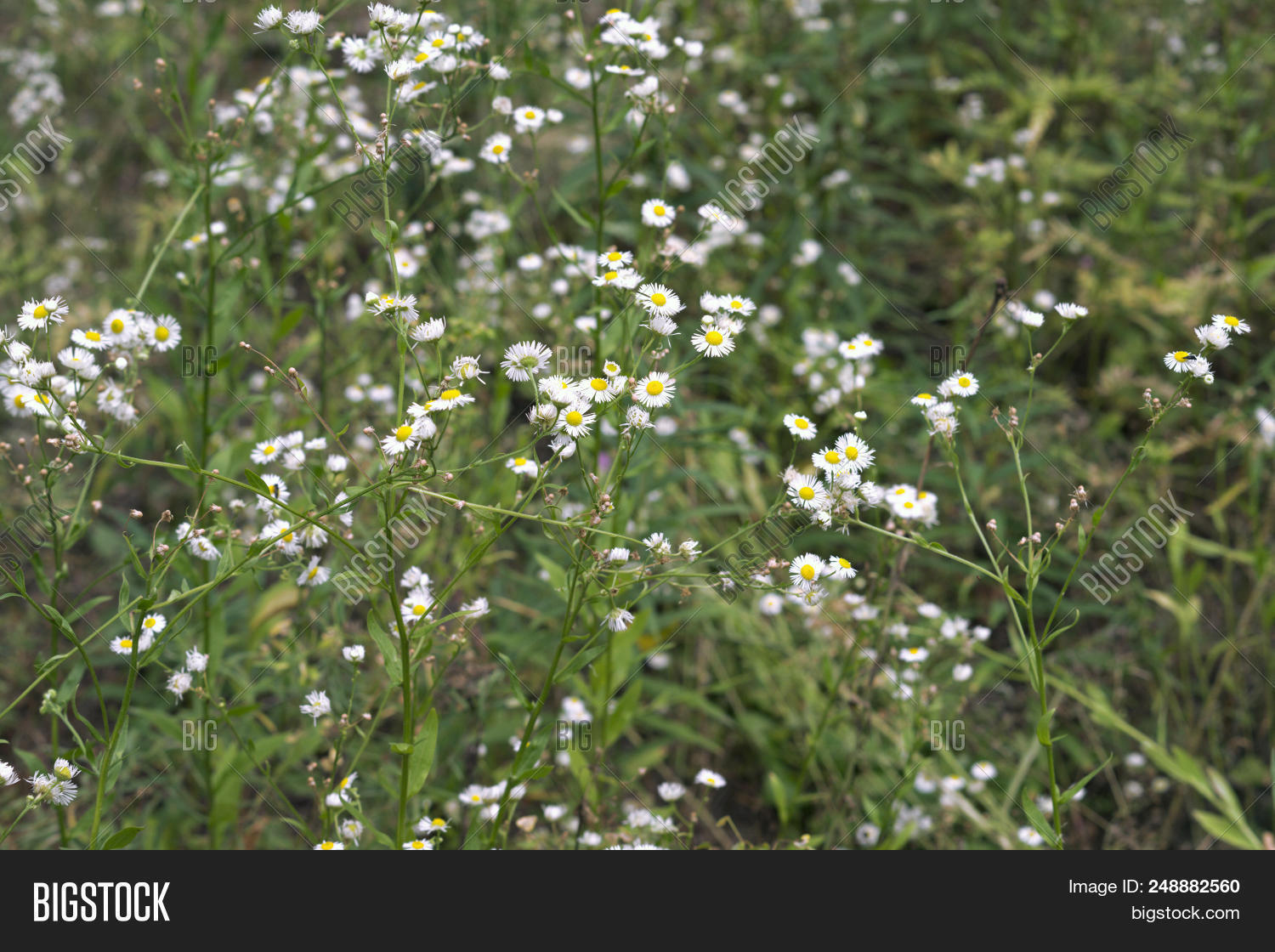 thickets of daisies delicate flowers with a yellow center leucanthemum mightylinksfo