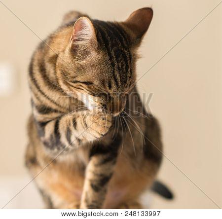 Beautiful feline cat licking himself at home. Domestic animal stock photo