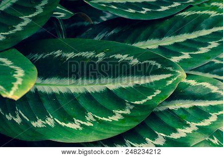 Leaves Calathea ornata pin stripe background blue stock photo