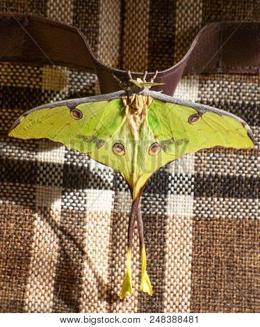 African moon moth, Argema mimosae, sits on a belt with a checked cloth in the background. The moth is yellow-green, big, has long tails on its wings. Moths look like butterflies but fly at night. stock photo