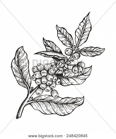 Images Of Coffee Tree With Beans Coffea Sketch And Colorless
