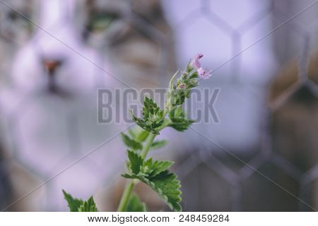 Close up of catnip with a cat out of focus on the background stock photo