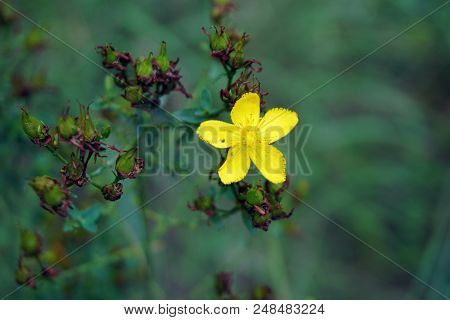 A perforate St Johns wort flower (Hypericum perforatum) blooms in the Rock Run Preserve of the Will County Forest Preserve District, in Joliet, Illinois, during July. stock photo