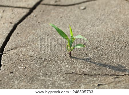 View from above of corn plant growing on wasteland cracked soil stock photo