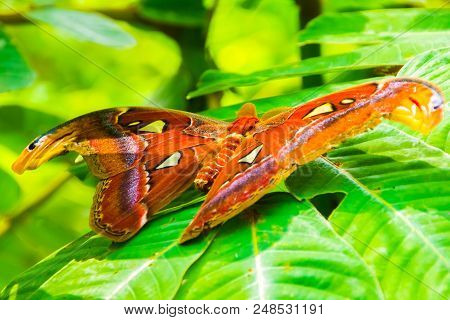 The giant Atlas butterfly moth, Attacus atlas in Thailand stock photo