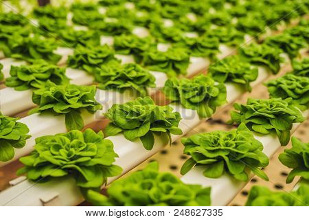 Fresh lettuce leaves, close up., Butterhead Lettuce salad plant, hydroponic vegetable leaves. Organic food , agriculture and hydroponic conccept. stock photo
