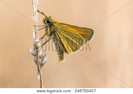 Essex skipper (Thymelicus lineola) is a butterfly in family Hesperiidae. This butterfly occurs throughout much of the Palaearctic region. In North America, it is known as the European skipper. stock photo