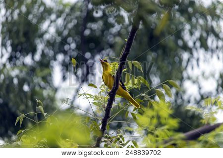A beautiful golden yellow colored bird outside my home in Jalandhar, Punjab. stock photo