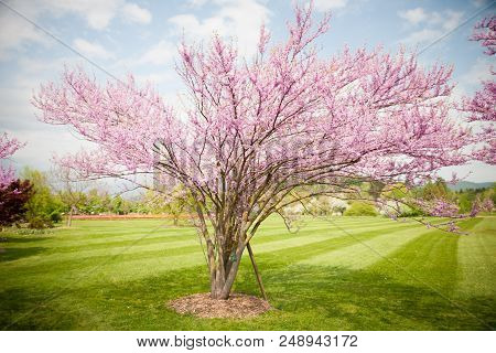 Cercis griffithii (Eastern redbud) is a large deciduous shrub or small tree, native to eastern North America from southern Ontario,Canada south to northern Florida. Blossoming tree stock photo