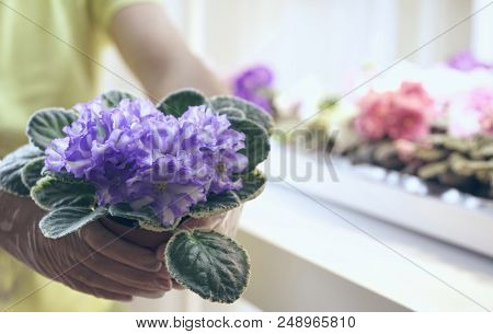 Transplant flowers in pots. Florist transplant beautiful violets. Growing violet- how to grow violet. stock photo