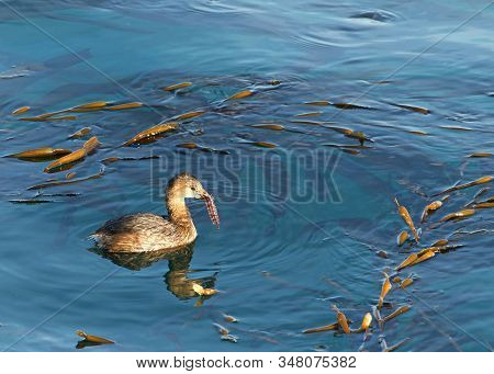 Pied Billed Grebe swimming in calm water eating. The pied-billed grebe is primarily found in ponds throughout the Americas stock photo