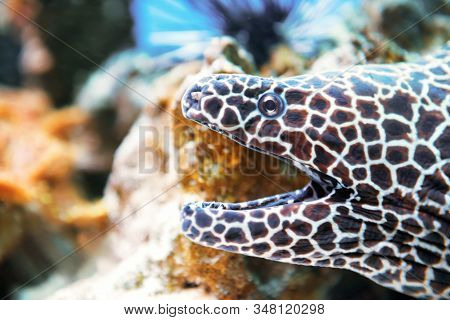 Laced moray fish at coral reef as nature underwater sea life background stock photo