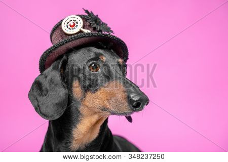 portrait adorable portrait of amazing  dachshund black and tan in a brown steampunk hat on a pink background stock photo