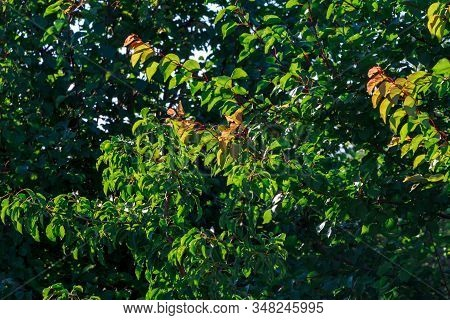 Close-up green leaf of sweet cherry with damage by ulcers of diseases and fungi of brown spotting of scab monniliosis. Gardening problems. Fungal and viral diseases of plants. stock photo