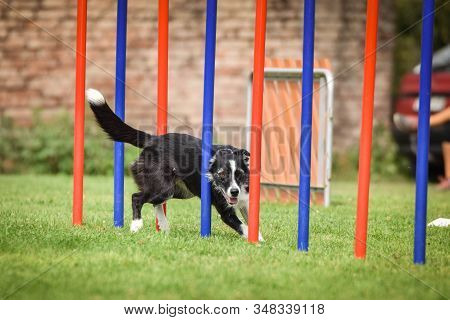 Agility slalom and border collie. Black and white Border collie is running slalom on czech agility competition slalom. agility competition in dog park Ratenice stock photo