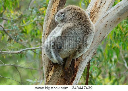 Australian female koala bear with a baby sleeping on a branch of eucalyptus tree in Victoria, Australia. stock photo