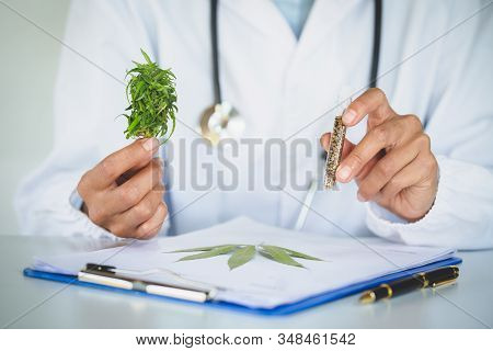 doctor is researching hemp oil. Cannabis Herb Research, Medical marijuana, CBD hemp oil research. stock photo