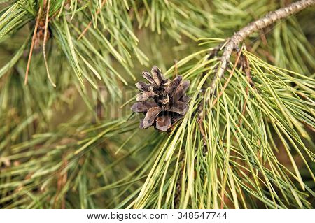 Christmas and holiday season. Pine or conifer plant closeup. Evergreen pine tree. Young pine needles on natural background. Branches of pine with cone. stock photo
