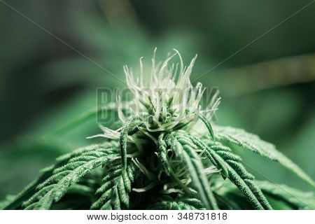 Cannabis growing in the grow tent. Weed for recreational purposes. Indoor grow weed cultivation. Growing cannabis. THC and CBD in pot. stock photo