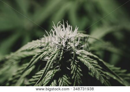 Growing cannabis. Cannabis growing in the grow tent. THC and CBD in pot. Weed for recreational purposes. Indoor grow weed cultivation. stock photo