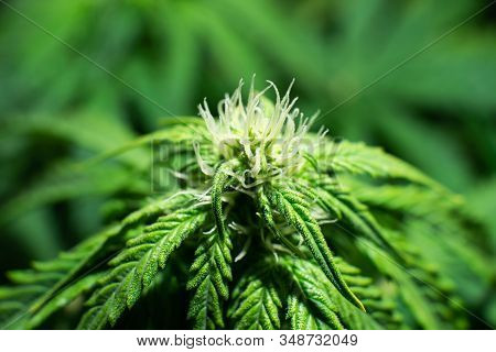 Weed for recreational purposes. Indoor grow weed cultivation. Growing cannabis. Cannabis growing in the grow tent. THC and CBD in pot. stock photo