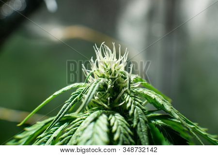 Growing cannabis. Cannabis growing in the grow tent. Weed for recreational purposes. THC and CBD in pot. Indoor grow weed cultivation. stock photo