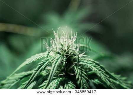 Weed for recreational purposes. Indoor grow weed cultivation. THC and CBD in pot. Growing cannabis. Cannabis growing in the grow tent. stock photo