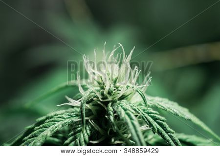Indoor grow weed cultivation. Growing cannabis. Cannabis growing in the grow tent. THC and CBD in pot. Weed for recreational purposes. stock photo