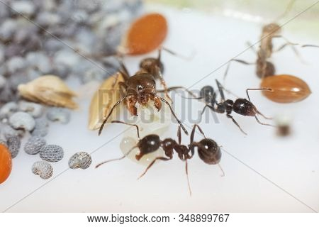 Young brown ant messor structor with a larva stock photo
