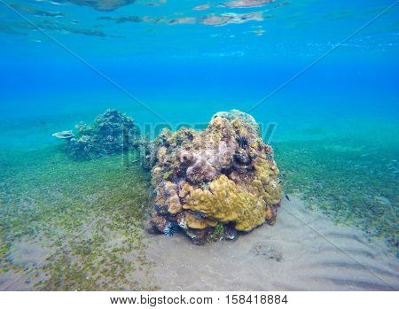 Underwater landscape with new coral reef and seabottom. Sand sea bottom with green seaweed. Blue water of seaside aquatory. Colorful corals and fishes in eco symbiosis. Tropical nature undersea stock photo