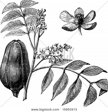 Mohagany or Meliaceae. Melia azedarach illustration. Also called Persian Lilac White Cedar Chinaberry Texas Umbrella Bead Tree Lunumidella Ceylon Cedar malai vembu Bakain and Dharek/Dhraik. Branch with close-up of the fruit and flower. stock photo