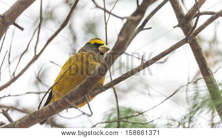 Yellow branded Evening Grosbeaks (Coccothraustes vespertinus)  on a deck having seed lunch. Heavyset finch in northern coniferous forests, adds splash of color to winter bird feeders every few years. stock photo