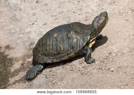 Red-eared slider (Trachemys scripta elegans), also known as the red-eared terrapin. stock photo