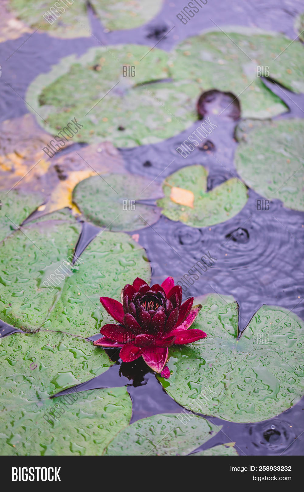 Beautiful Bright Nature Floral Background With Waterlily Red