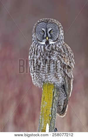 A Vertical of Great Gray Owl, Strix nebulosa, perched stock photo