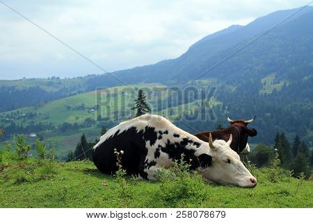 Cows lie and rest at pasture on background of village at hillside and mountains are in distance. stock photo