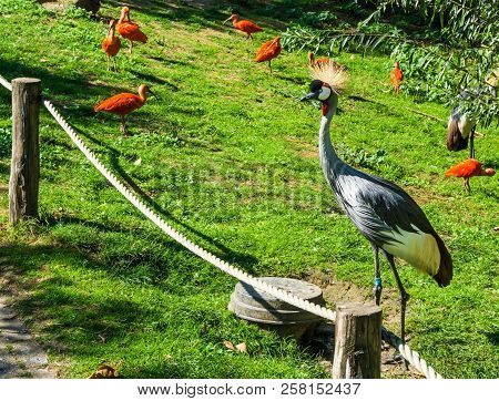 beautiful grey crane bird with yellow tuft hair and red scarlet ibis birds in the background stock photo