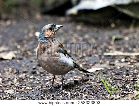 Chaffinch, the bird with latin name Fringilla coelebs sitting on the ground stock photo